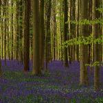 Hallerbos – 'Mėlynasis miškas'